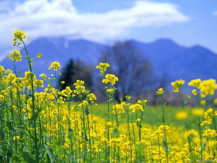 Hoa cải vàng ấm áp những ngày đông