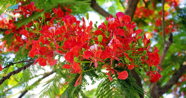 Hoa phượng thắp lửa cho kí ức tuổi học trò thêm rực rỡ