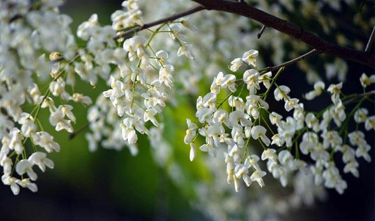 Tháng 2 yên bình trong sắc hoa sưa trắng muốt