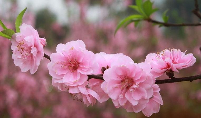 Tháng giêng hoa đào nở rộ khắp nơi nơi