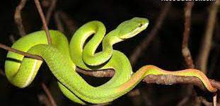 Các điềm báo khi nằm mơ thấy rắn lục
